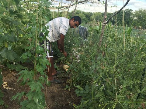 a young Indian man ties up tomato plants in the garden, surrounded by green